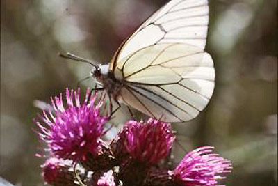 An image of a white butterfly.