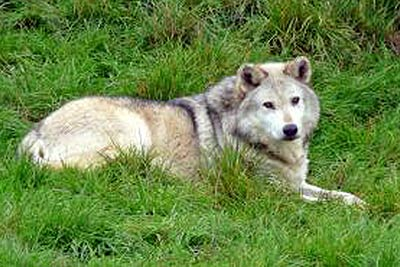 A photographic image of a wolf.