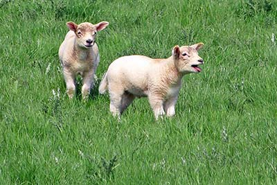 A photographic image of lambs in Ireland.