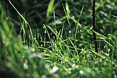 A photographic image of wet grass.