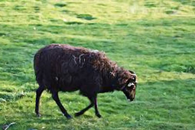A photographic image of a black sheep.