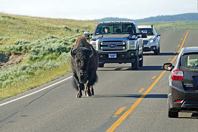 A photographic image of a lone bison on a highway.